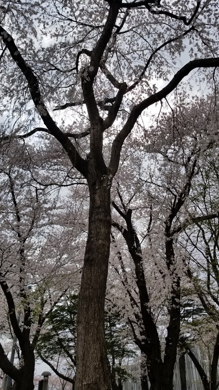 Sakurao_58