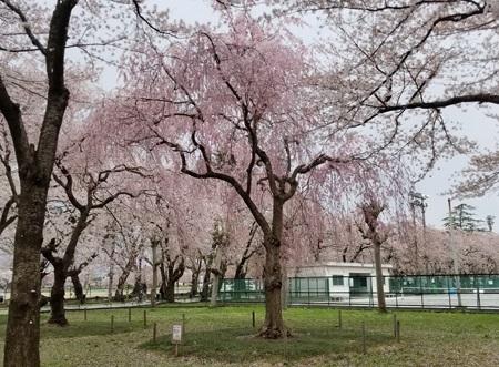 Sakurao_59